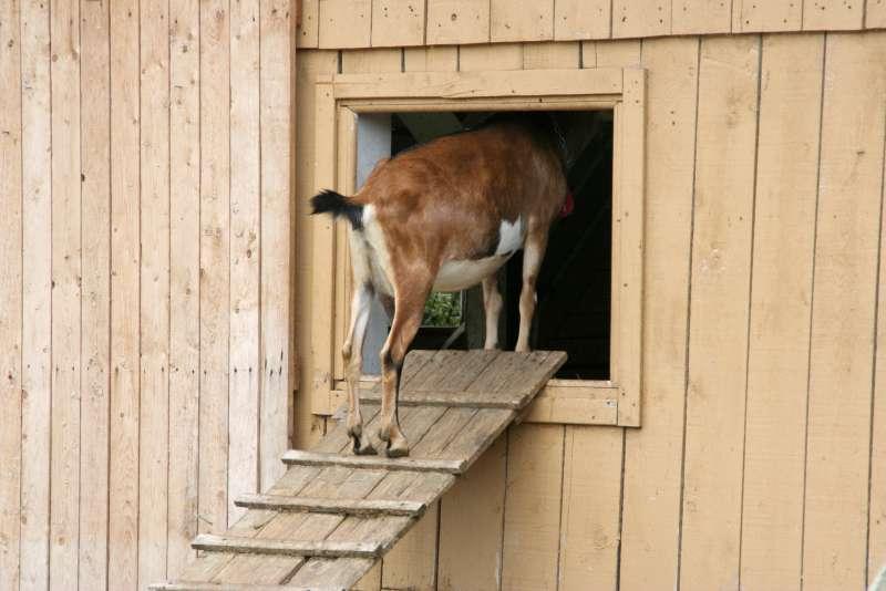 goat on wooden ramp