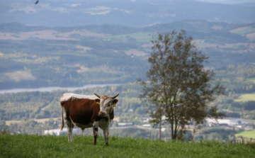 Cow in Norway on green fields