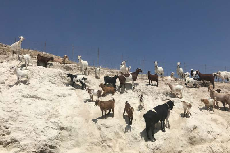 goats in cyprus
