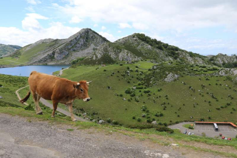 Cow walking in the Pyrenees Mountains